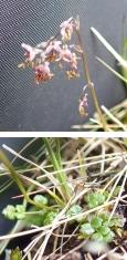 Thalictrum alpinum (Alpine Meadow-rue)