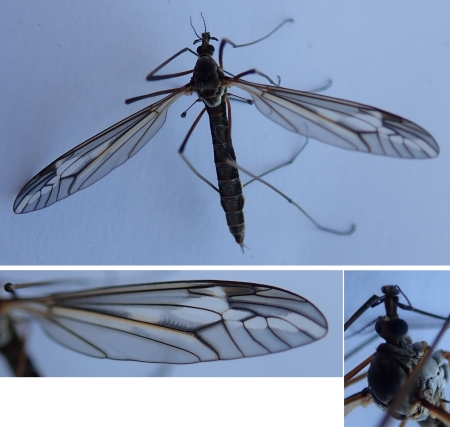 Tipula 180525