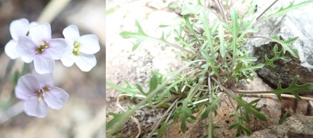 Arabidopsis petraea (Northern Rock-cress)