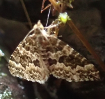 Broken-barred Carpet