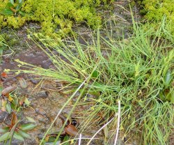 Carex canescens (White Sedge)