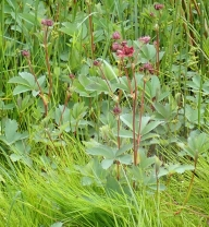 Comarum palustre (Marsh Cinquefoil)