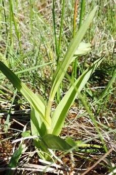 Epipactis palustris in bud