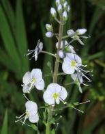 Veronica longifolia x spicata inflorescence