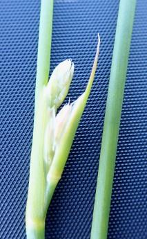 Juncus subnodulosus