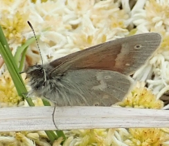 Large Heath
