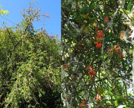 Chilean Flame Tree Embothrium coccineum