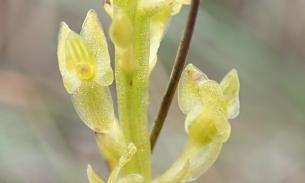 Hammarbya paludosa (Bog Orchid)