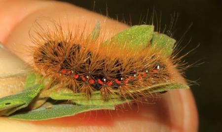 Light Knot Grass larva