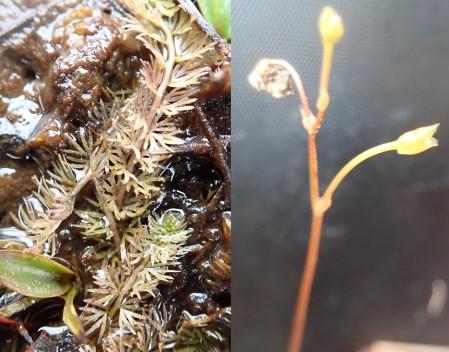 Utricularia stygia Strath Mor