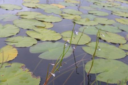 Water lobelia