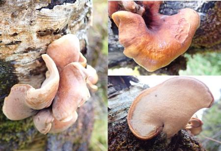 bracket fungus 180823