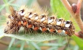 Knot Grass larva