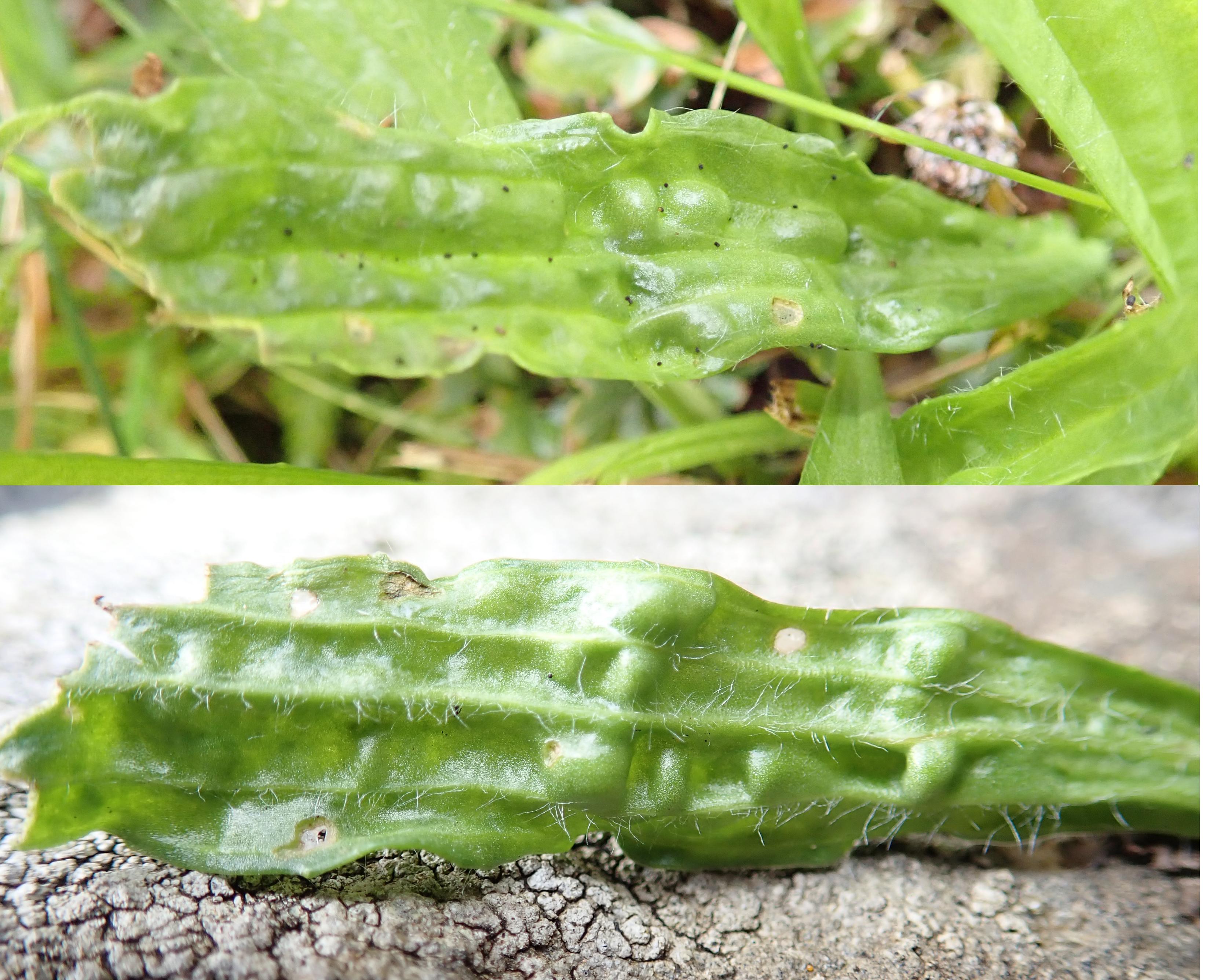 Plantago lanceolata nematode gall