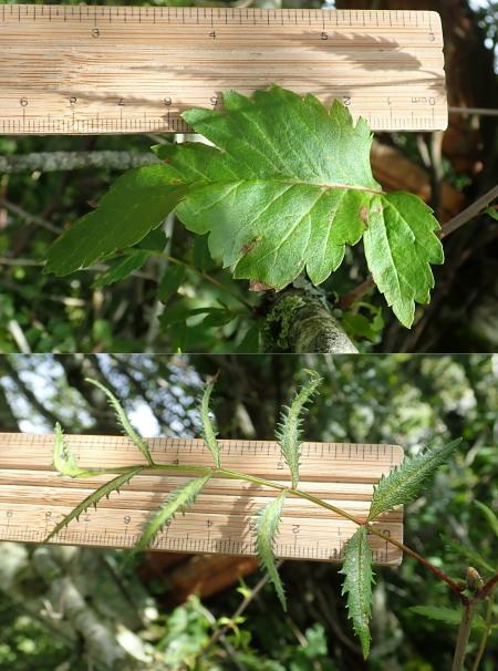 Sorbus aucuparia odd Borve