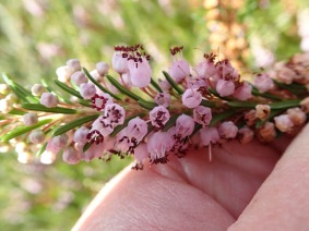 Erica vagans (Cornish Heath) at Dunvegan