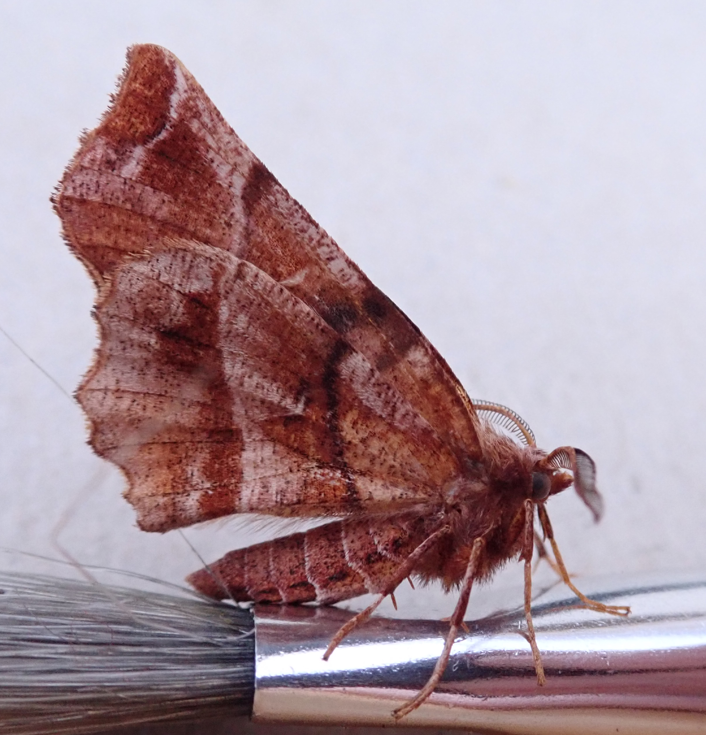 Early Thorn