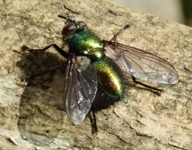 Gymnocheta viridis 1