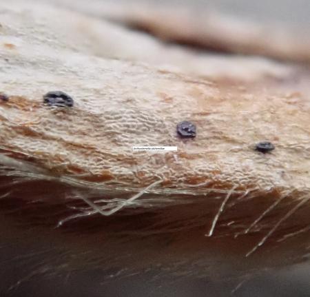 Anthostomella alchemillae