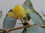 Berberis buxifolia flower