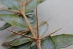 Berberis buxifolia stemspine