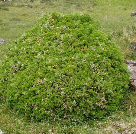 Gorse topiary
