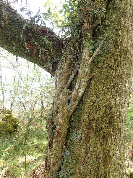 Ivy on Oak