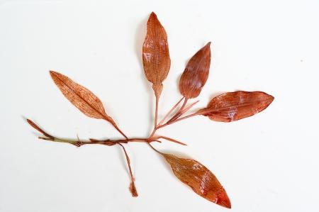 Potomageton coloratus LCC Birna Rørslet (2)