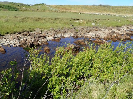 Salix phylicifolia