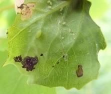 Aspen leaf uncurled