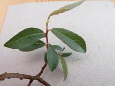 Salix x ambigua