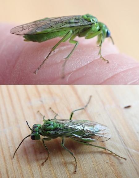 Sawfly probably Tenthredo olivacea TBC