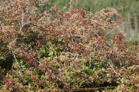 Skinadin Shrub 1