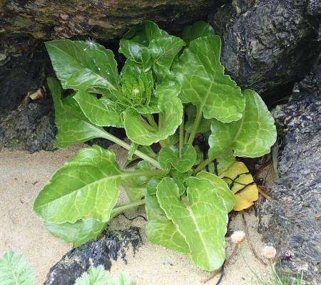Beta vulgaris ssp maritima
