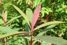 Euphorbia Portree