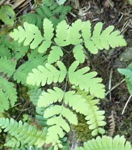 Gymnocarpium dryopteris