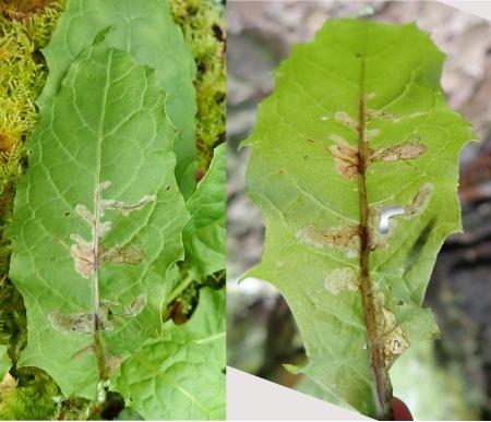 Crepis paludosa leaf mine