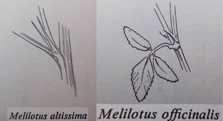 Melilot Stipules Roles
