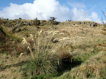 Cortaderia richardii Raasay
