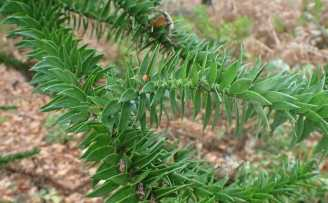 Araucaria araucana Armadale 2