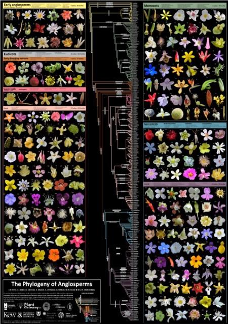 Phylogeny Angiosperms