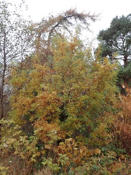 Quercus cerris Raasay 191110 2