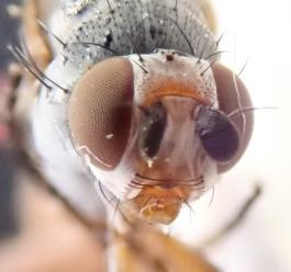Female Heteromyza commixta - head