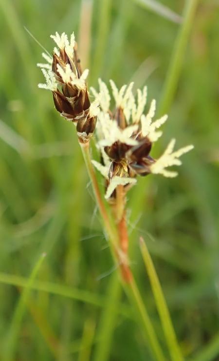 Luzula campestris (Field Wood-rush)