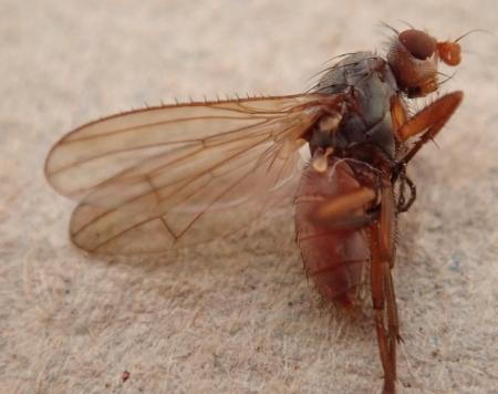 Spiny-winged Fly