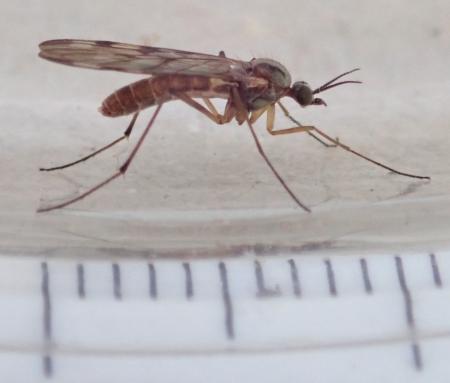 Sylvicola cf. cinctus