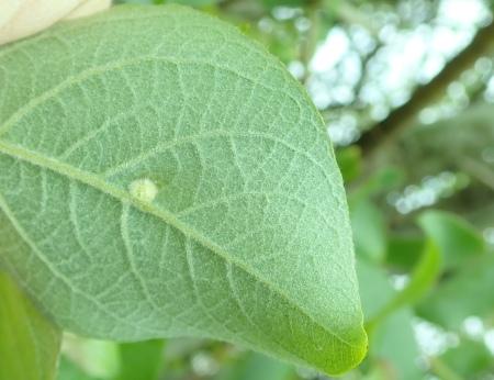 Euura pedunculi gall on Salix caprea