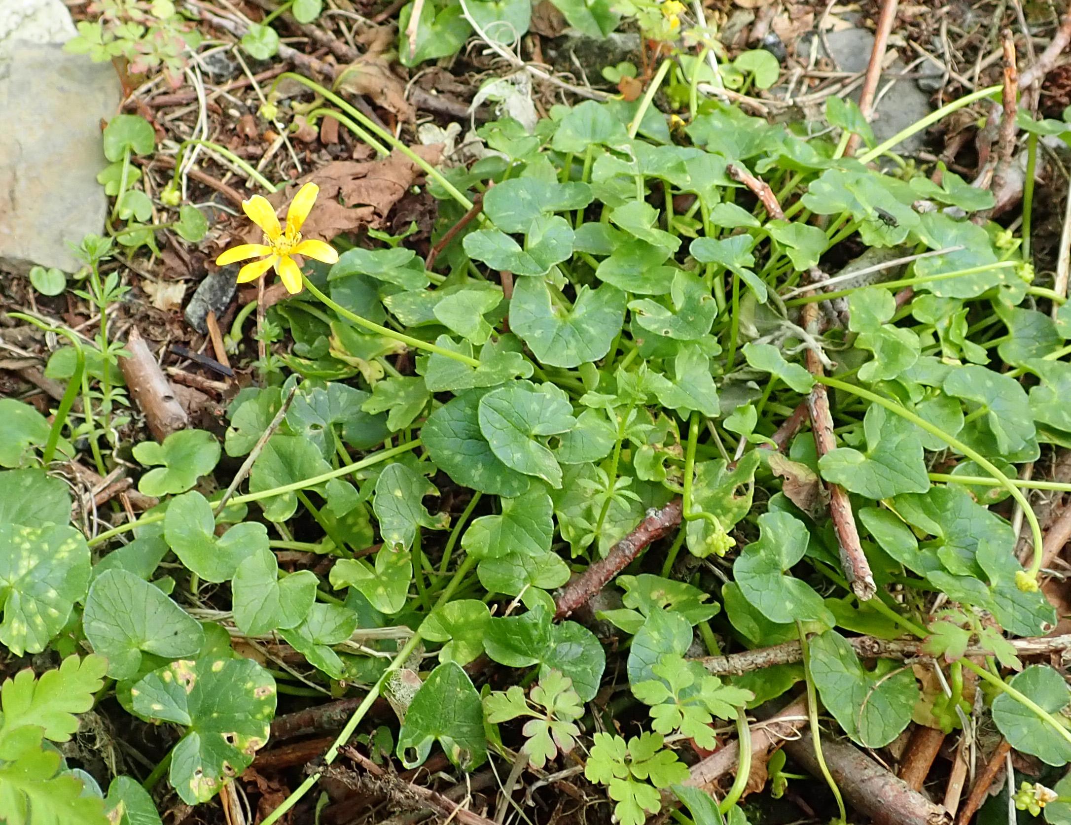 Ficaria verna subsp. fertilis
