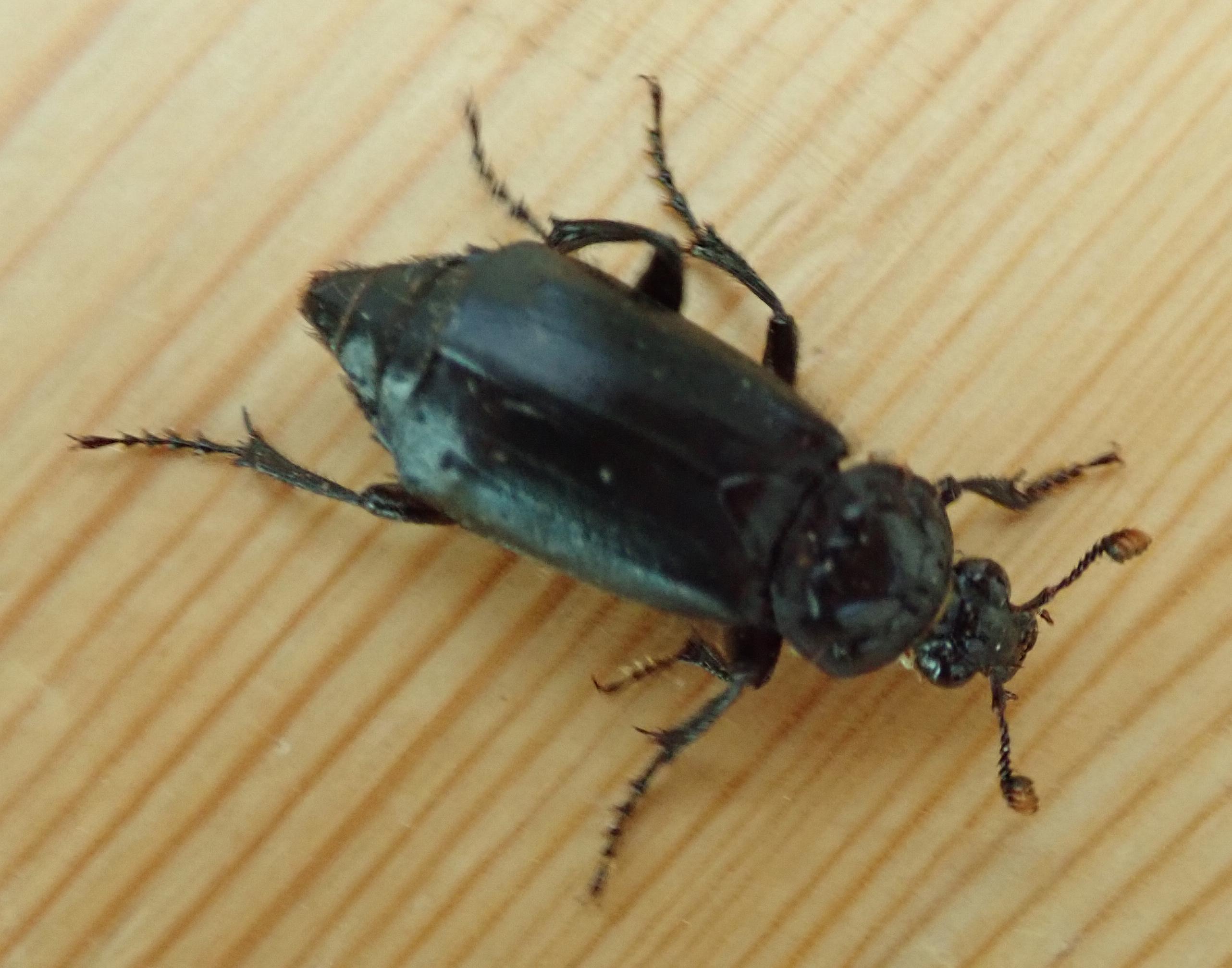 Nicrophorus humator