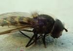 Parasyrphus punctatus